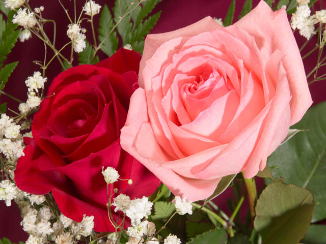 http://www.robertcasanova.fr/FETESENRIMES/IMAGES/roses-saint-valentin.jpg